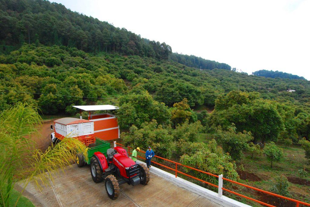 An avocado orchard in Uruapan, Michoacan