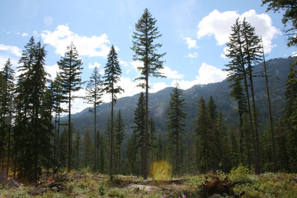 A sunny patch in Cheakamus Community Forest.   Photo by Joseph Pallant