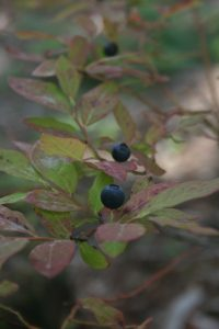 Wild blueberries in Cheakamus.   Photo by Joseph Pallant.