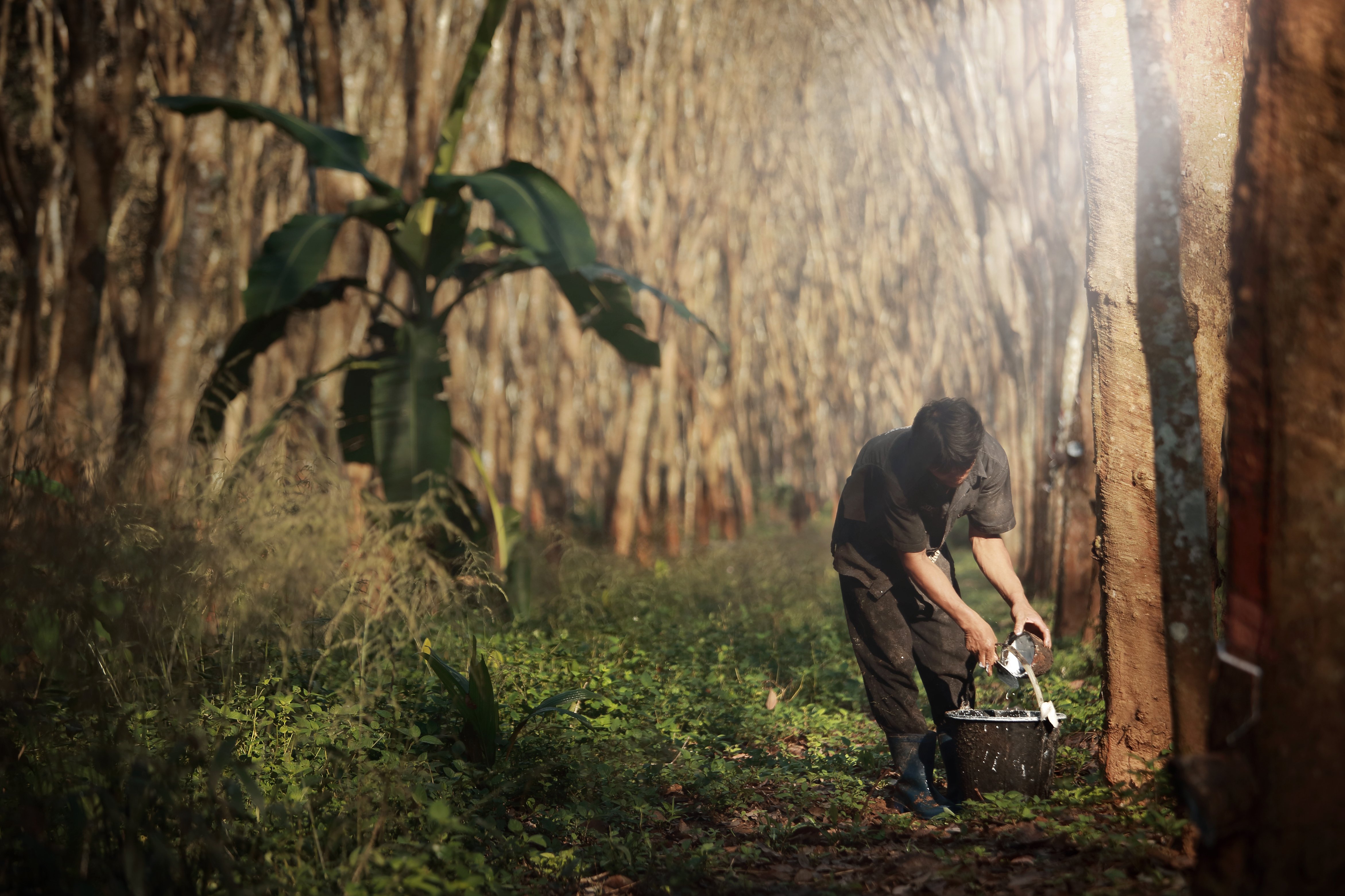 Worker tapping milk latex from para rubber tree,plantation in Southeast  Asia_577771867 - Forest Trends
