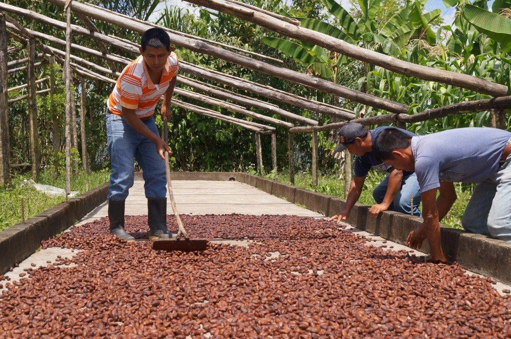 Farmers spreading cacao beans